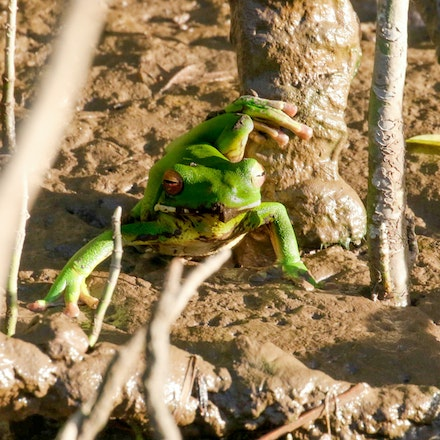 Trying out some  new lippy - White lipped tree frog trying some brown lip therapy