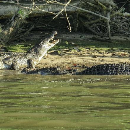 Scuter and Scarface - Crocodile, crocodiles, crocodylus porous, reptiles, wet tropics , Daintree