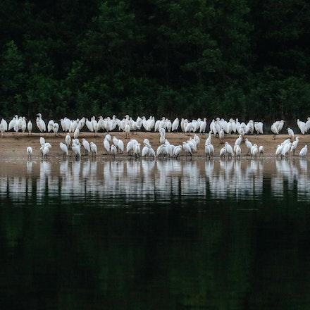Eastern Cattle Egret , Bubulcus coromandus - Eastern Cattle Egret , Bubulcus coromandus