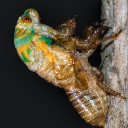 Cicadas - Press for more images