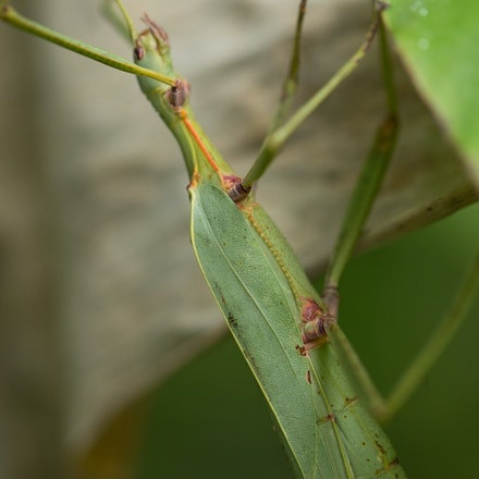 Sjostedt's Graceful Stick Insect Tropidoderus gracilifemur - Sjostedt's Graceful Stick Insect Tropidoderus gracilifemur