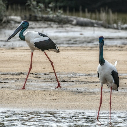 Gump and black necked stork. - Crocodile, wet tropics,  black necked stork,  Daintree