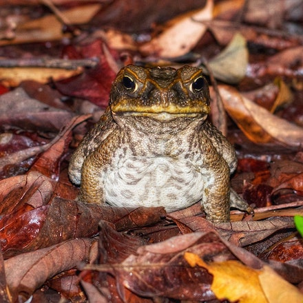 Cane Toad , Rhinella marina - (press for more images) Cane Toad , Rhinella marina