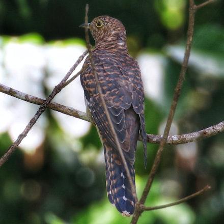 Oriental  Cuckoo, Cuculus optatus (hepatic form ) - Oriental  Cuckoo, Cuculus optatus (hepatic form )
