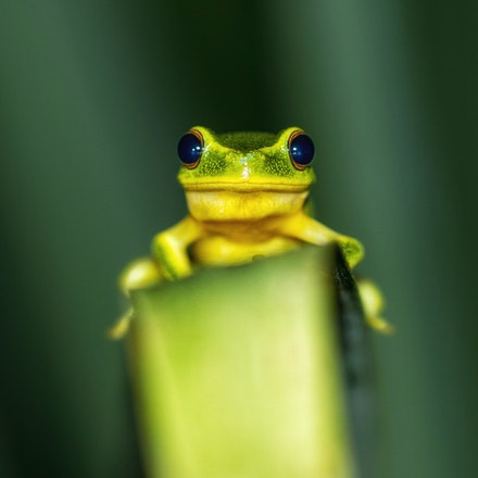 Graceful Tree Frog,  Litoria gracilenta - Graceful Tree Frog,  Litoria gracilenta