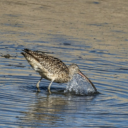Eastern Curlew , Numenius madagascariensis - (press for more images) Eastern Curlew , Numenius madagascariensis