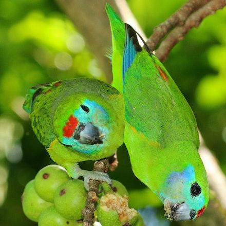 Double Eyed Fig Parrot, Cyclopsitta diophthalma, ssp macleayana, yinjul (kuku-yalanji) - Double Eyed Fig Parrot, Cyclopsitta diophthalma, ssp macleayana