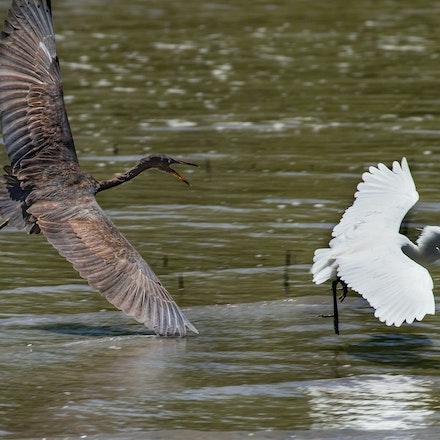 Eastern Reef egret - Eastern Reef egret