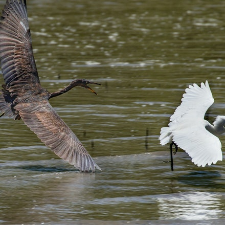 Reef egret chasing little egret - Reef egret chasing little egret