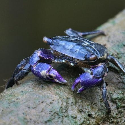 Broad-fronted mangrove crab  Metopograpsus latifrons - Broad-fronted mangrove crab  Metopograpsus latifrons