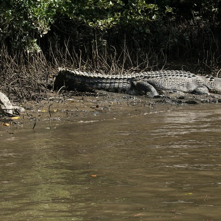 Scarface and  Dusty - Crocodiles,  Crocodylus porous , crocodilian