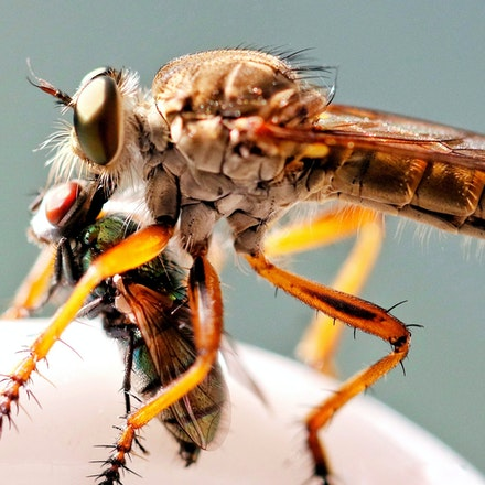 Robber Flies - (press for more images)