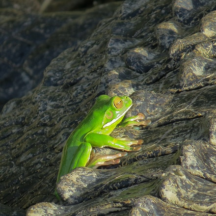 Frog on the back of a crocodile - Frog on the back of a crocodile.  White lipped tree frog,  wet tropics , Daintree