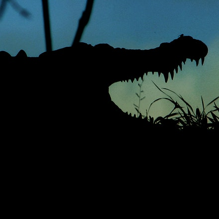 Scuter - Crocodile, Crocodiles,  Crocodylus porous , crocodilian , saltie, reptiles , estuarine crocodile, wet tropics wildlife,  daintree river