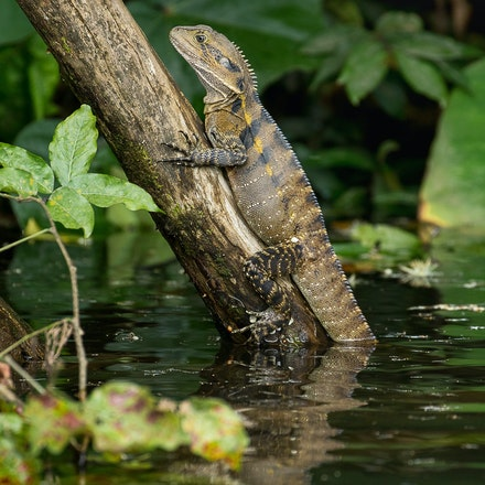 Lizards (tap for more images) - Lizard of the Daintree river,  water dragons,  goannas, major skinks, Boyds forest dragon, spotted tree monitor