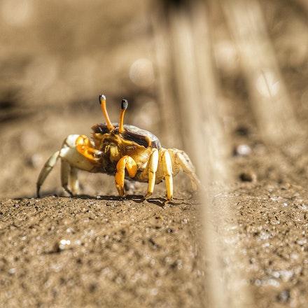 Fiddler Crab  Uca coarctata - Female Fiddler Crab,  Uca coarctata, crustacean, Daintree