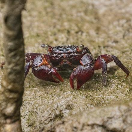 Maroon mangrove crab, Perisesarma messa - Maroon mangrove crab, Perisesarma messa , crabs , crustaceans
