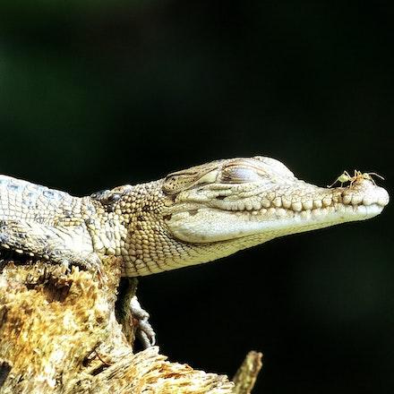 Young Crocodiles - Crocodile, Crocodiles,  Crocodylus porous , crocodilian , saltie, reptiles , estuarine crocodile, wet tropics wildlife,  daintree river