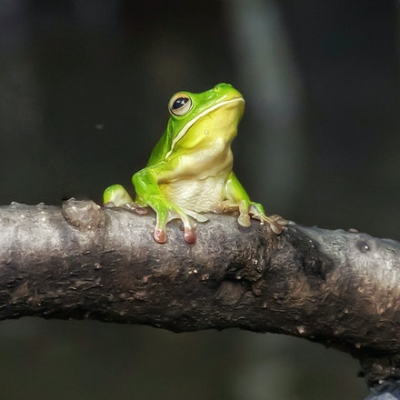 Poser - White lipped tree frog posing
