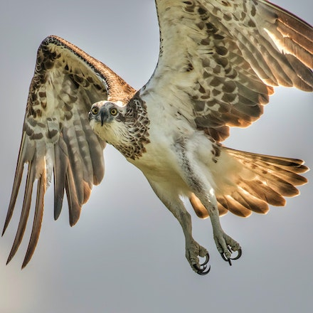 Eastern Osprey, Pandion haliaetus - (press for more images)