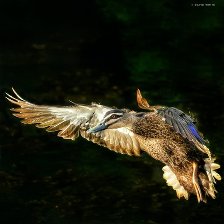 Pacific Black Duck, Anas superciliosa - Pacific Black Duck, Anas superciliosa, water birds
