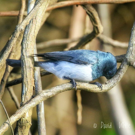 Male ,  Leaden Flycatcher, Myiagra rubecula - Leaden Flycatcher, Myiagra rubecula