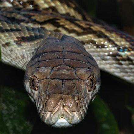 Amethystine Python - Amethystine python,