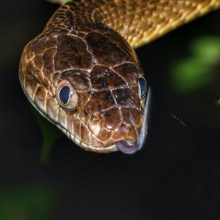Brown Tree Snake - Brown tree snakes