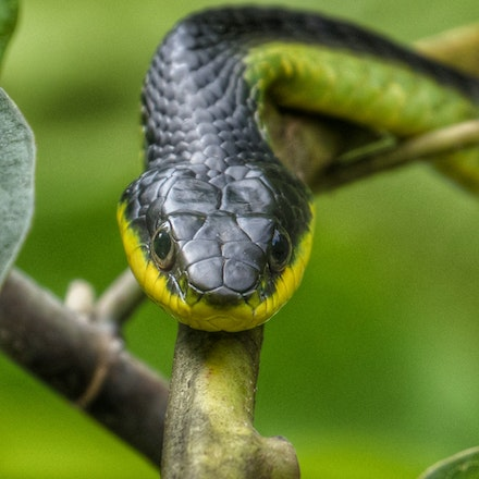 (Not so common) Common Tree Snake - Common tree snake,