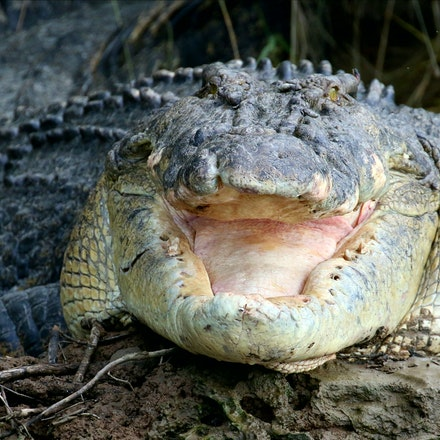 Scarface - Crocodile, Crocodiles,  Crocodylus porous , crocodilian , saltie, reptiles , estuarine crocodile, wet tropics wildlife,  daintree river