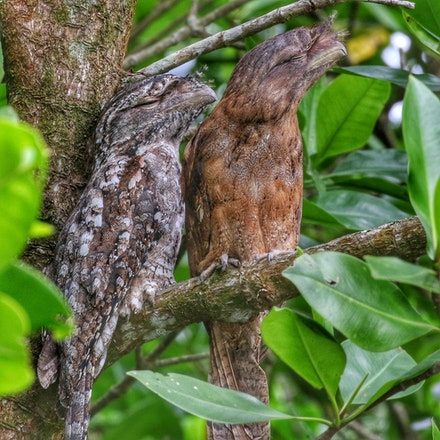 Papuan Frogmouth, Podargus papuensis - (press for more images)