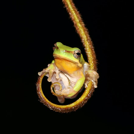Eastern Dwarf Tree Frog, Litoria fallax - Eastern Dwarf Tree Frog, Litoria fallax