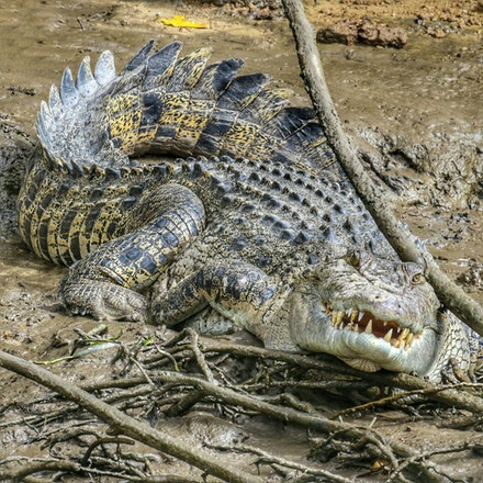 Beatrice - Crocodiles,  Crocodylus porous , crocodilian , saltie, reptiles , estuarine crocodile