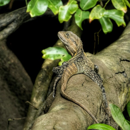 Eastern Water Dragon Intellagama lesueurii - (press for more images)