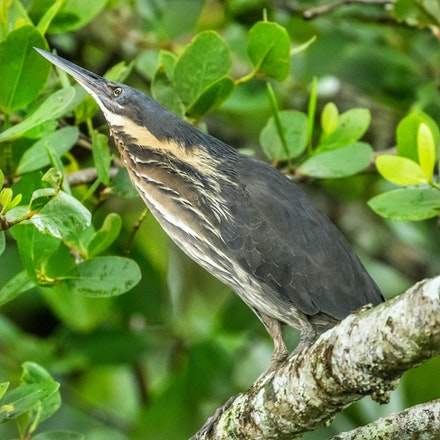 Black bittern, Ixobrychus flavicollis - Black bittern, Ixobrychus flavicollis
