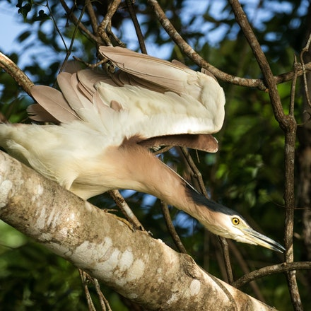 Yoga - Nankeen night heron, Nycticorrix caledonicus, wet tropics birds,  Queensland birds, Daintree