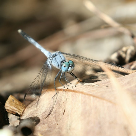 Chalky percher , Diplacodes trivialis - Chalky percher , Diplacodes trivialis