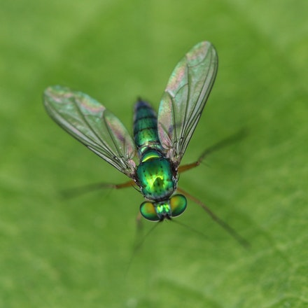 Large Green Long Legged Fly , Chrysosoma leucopogon,  Family Dolichopodidae - Large Green Long Legged Fly - Chrysosoma leucopogon Family Dolichopodidae,...