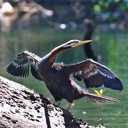 Male , Australasian Darter, Anhinga novaehollandiae - Australasian Darter, Anhinga novaehollandiae , fishing bird, wet tropics birds