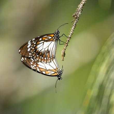 Swamp Tiger Butterfly, Danaus affinis - Swamp Tiger Butterfly, Danaus affinis , butterfly , wet tropics , Daintree