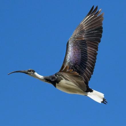 Straw-necked ibis , Threskiornis spinicollis, bujil yiran (kuku yalanji) - Straw-necked ibis , Threskiornis spinicollis, bujil yiran (kuku yalanji)