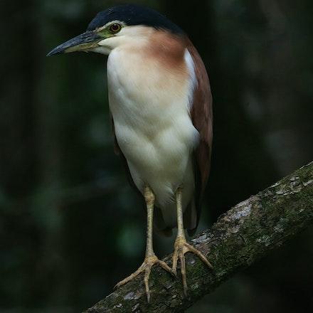 Nankeen Night Heron, Nycticorrix caledonicus - Nankeen Night Heron, Nycticorrix caledonicus