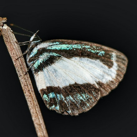 Small Green-banded Blue Lycaenidae - Psychonotis caelius taygetus - - Lycaenidae - Psychonotis caelius taygetus - Small Green-banded Blue, wet tropics...