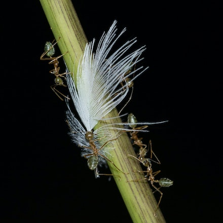Green Tree Ants , Oecophylla smaragdina - Green Tree Ants , Oecophylla smaragdina, green ants, ants, wet tropics insects, daintree river insects