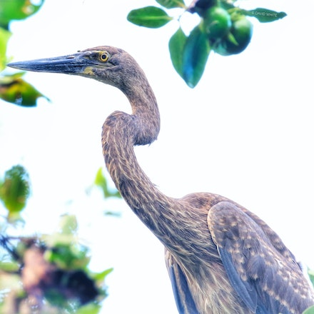 Great Billed Heron, Ardea sumatrana - Great Billed Heron, Ardea sumatrana