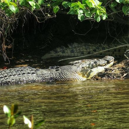 Scarface  and Scuter - Crocodiles,  Crocodylus porous , crocodilian