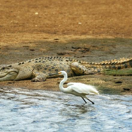 Cousins: birds and crocs - (press for more images) Crocodylus porous,  birds