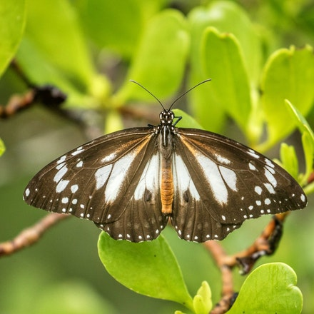 Swamp Tiger Butterfly, Danaus affinis - Swamp Tiger Butterfly, Danaus affinis , butterfly, insects,  wet tropics , Daintree river wildlife