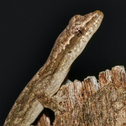 Gecko - (press for more images)