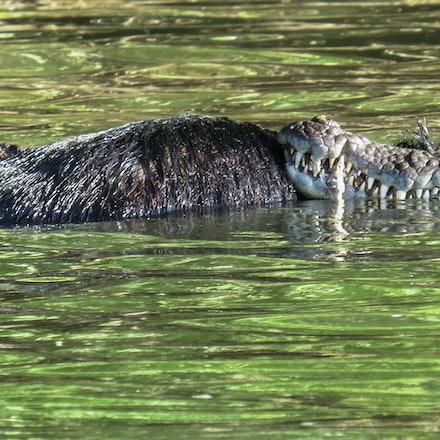 scarface and scuter - Crocodile, crocodiles, crocodylus porsus, reptiles, wet tropics, Daintree